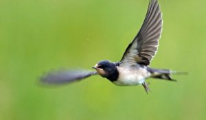 Barn Swallow – Moine Mhor, Mid-Argyll 10 Jul (Jim Dickson).