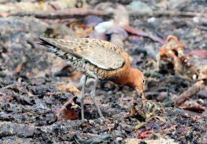 Black-tailed Godwit – MSBO, Kintyre 20 Aug (Eddie Maguire).