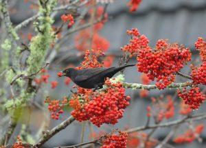 Blackbird - Tayvallich 29 Oct (Morag Rea).