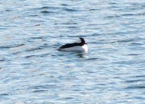 Bufflehead - Oban Bay, Mid-Argyll 15 Apr (Richard Turner).