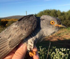 Common Cuckoo – Aros Moss, Kintyre 15 May (Neil Brown).