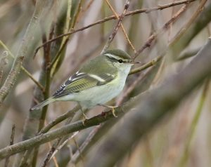 Yellow-browed Warbler – Uig, Coll 17 Oct (Toby Green).