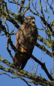 Common Buzzard - Keillmore (Loch Sween) 26 Feb (Andy Craven).