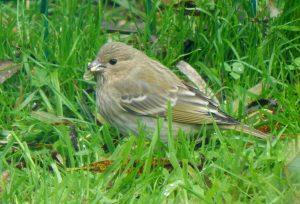 Common Rosefinch Balephuil, Tiree 12 Sep (John Bowler).