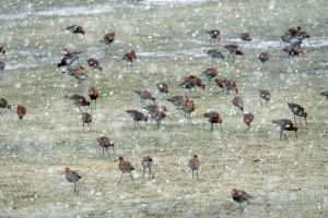 Black-tailed Godwits – Lochgilphead, Mid-Argyll 28 Apr (Jim Dickson).