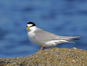 Little Tern – Tiree 13 May (Jim Dickson).