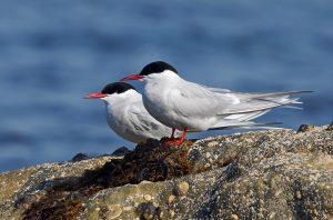 Arctic Terns – Tiree 13 May (Jim Dickson).