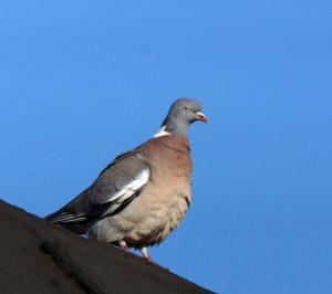 Wood Pigeon – Tiree 14 May (Jim Dickson).