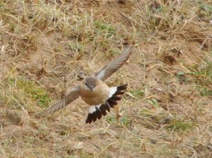 1w Isabelline Wheatear - Islay 1 Dec (Jim Dickson).