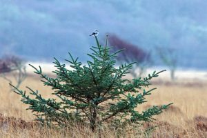 Great Grey Shrike - Moine Mhor 17 Dec (Jim Dickson).