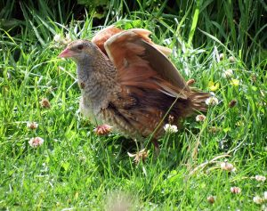 Corn Crake - Oronsay, Colonsay 01 Jul (Morgan Vaughan).