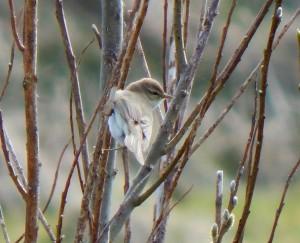 Willow Warbler - Balephuil, Tiree 10 April (John Bowler).