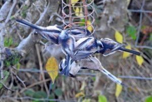 Long-tailed Tits - Cairnbaan 21 Nov (Jim Dickson)