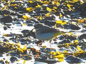 Grey Wagtail - Loch Gilp 21 Nov (Jim Dickson).