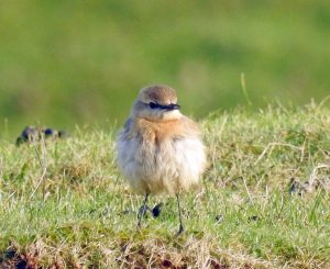 1w Isabelline Wheater - Islay 1 Dec (Jim Dickson).