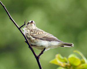 Juvenile Spotted Flycatcher – Slockavullin, Mid-Argyll 07 Aug (Jim Dickson).