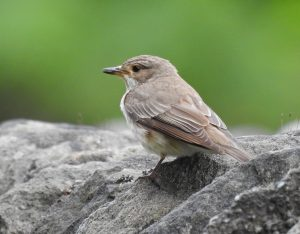 Spotted Flycatcher – Slockavullin, Mid-Argyll 07 Aug (Jim Dickson).