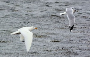 Common Gull with leucistic adult Herring Gull Campbeltown Loch, Kintyre 11 Mar (Eddie Maguire).