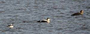 male Bufflehead with Eiders - Oban Bay, Mid-Argyll 21 Apr (Przemek Wronski).