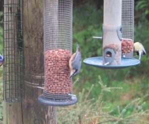 Nuthatch - Bellanoch, Mid-Argyll 23 Aug (Bill Alexander).