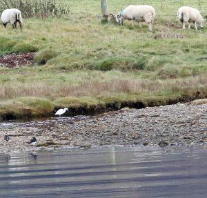 Little Egret - West Loch Tarbert 26 Nov (Toby Green).