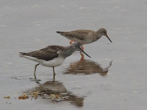 Greenshank & Redshank – Campbeltown Loch, Kintyre 09 Sep (Steve and Tracey Seal).