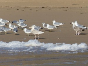 first winter Glaucous Gull - Lossit Bay, Islay 03 Feb (Mike Peacock).