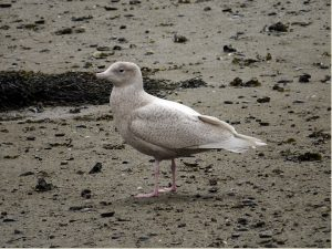 Glaucous Gull – Arrochar, Cowal 29 Apr (Jonathan Platt).