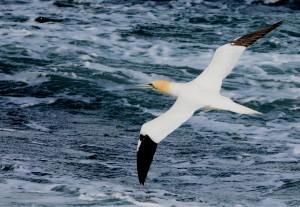 Northern Gannet – MSBO, Kintyre 06 April (Eddie Maguire).