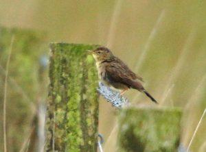 Grasshopper Warbler – Moine Mhor, Mid-Argyll 10 Jul (Jim Dickson).