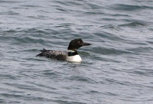 Great Northern Diver – MSBO, Kintyre 24 Apr (Eddie Maguire).