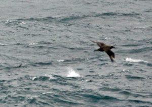 Great Skua & 2 Storm Petrels - Oban-Barra 31 Aug (Jim Dickson).