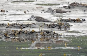 Greenshanks - Add Estuary, Mid-Argyll 15-16 Jul (Jim Dickson).