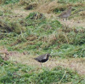 Pacific Golden Plover Middleton/Sandaig, Tiree 29 Aug (John Bowler).