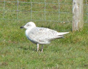 juvenile Iceland Gull - Heylipol, Tiree 03 May (John Bowler).