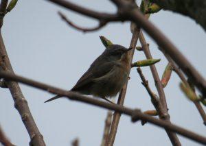 'Western' Subalpine Warbler - Kinnabus, Islay 16 May (David Wood).