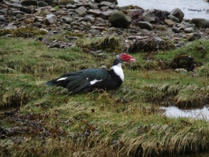 Muscovy Duck - Furnace, Mid-Argyll 26 Mar (Andy Craven).