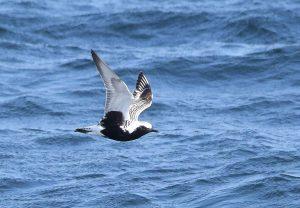 Grey Plover - MSBO, Kintyre 10 May (Iomhar McMillan).