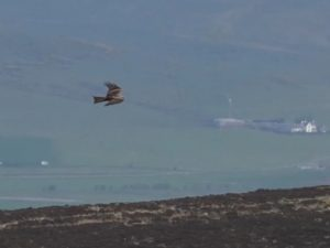 Black Kite – nr Machrihanish, Kintyre 11 May (Aidan Maccormick).