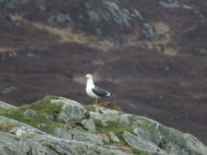Lesser Black-backed Gull – Oronsay 24 Mar (Morgan Vaughan).