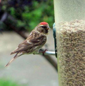 Lesser Redpoll - Poltalloch, Mid-Argyll 19 Jun (Fiorna).