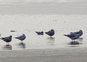 Little Gull (centre left) – Loch Gilp, Mid-Argyll 10 Feb (Jim Dickson).