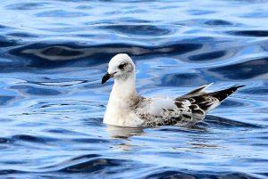 Mediterranean Gull – MSBO, Kintyre 20 Aug (Eddie Maguire).