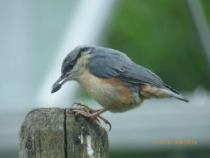 Nuthatch - Barcaldine, North Argyll 28 Jun (Clive Craik).