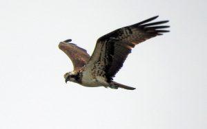 Osprey – Add Estuary, Mid-Argyll 28 May (Jim Dickson).