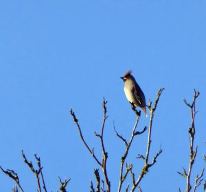 Waxwing - Connel 10 Nov (Mike Harrison).