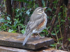 Redwing - Connel, Mid-Argyll 01 Apr (Mike Harrison).