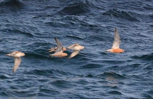 Red Knot – MSBO, Kintyre 10 May (Eddie Maguire).
