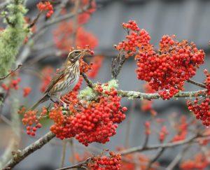 Redwing - Tayvallich 29 Oct (Morag Rea).
