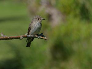 Spotted Flycatcher - Tayvallich, Mid-Argyll 18 Jun (Morag Rea).